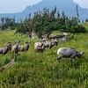 Bighorn Sheep 6