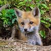 Fox Kit 2