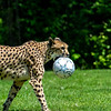 Soccer Cheetah