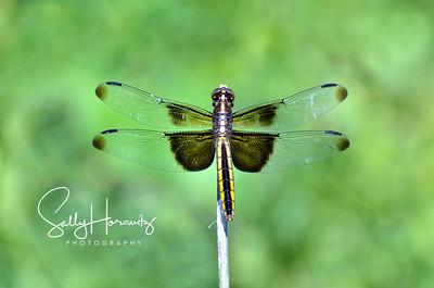 Widow skimmer, female