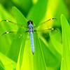 Spangled Skimmer