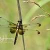 Widow skimmer, female