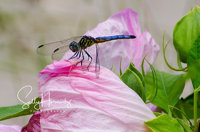 Blue dasher, juvenile male