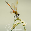 Four-spotted pennant, female