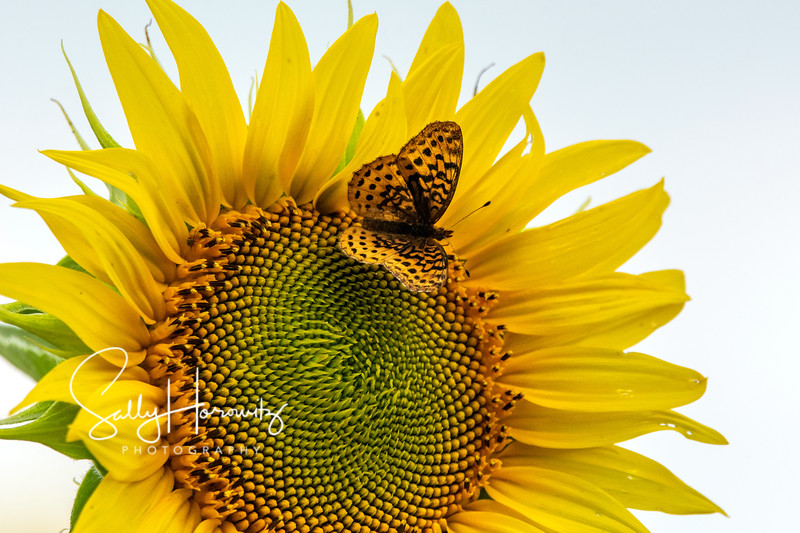 Sunflower with Meadow Fritillary