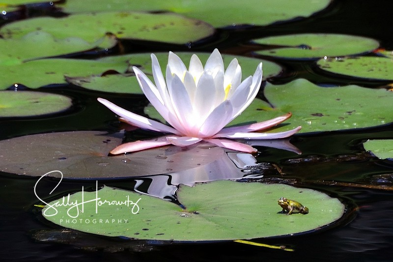 Waterlily and frog