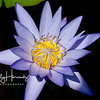 Purple waterlily 1