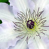White clematis 1