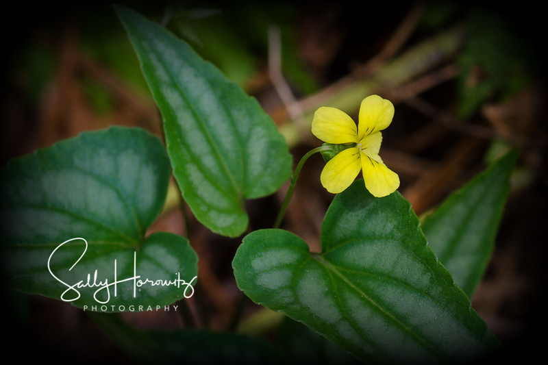 Halberd-leaved yellow violet