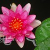 Pink waterlily