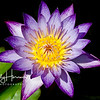 Purple waterlily 3