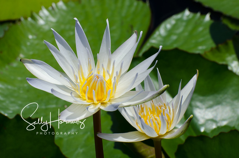 Waterlily 4