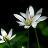 Star of Bethlehem 1