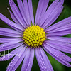 Morning Dew (aster)