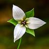 Trillium simile 1