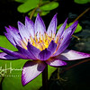 Purple waterlily 2
