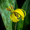 Trout Lily 2