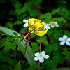 Trout Lily among Rue Anemone