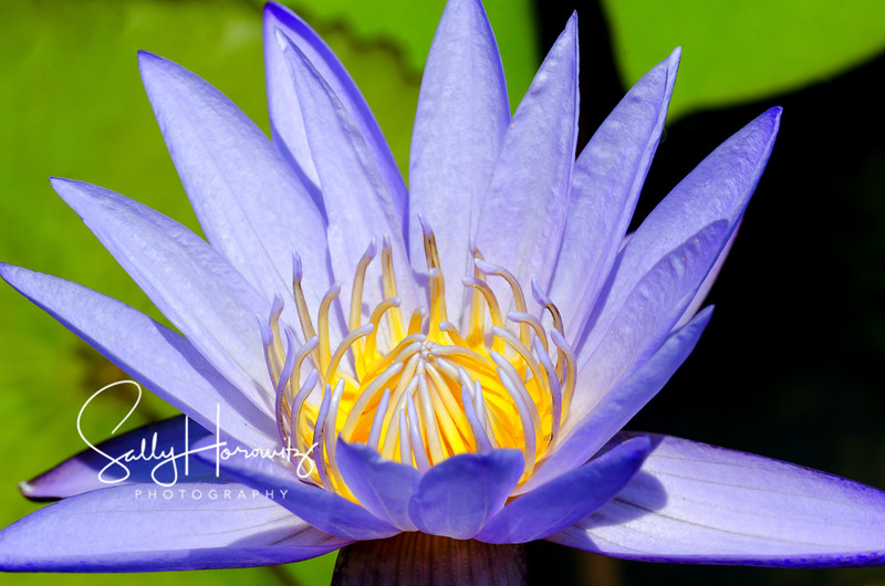 Purple waterlily 4