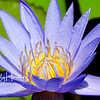 Purple waterlily 4