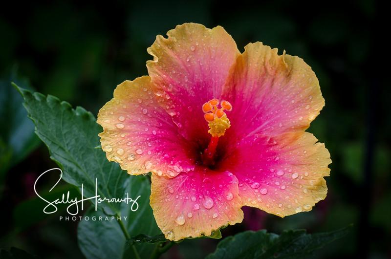 Tropical hibiscus 2