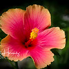 Tropical hibiscus 1