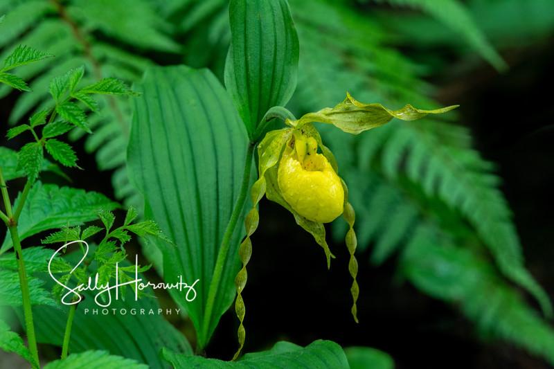 Yellow Lady's Slipper