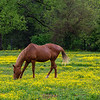 Among the buttercups