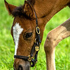 Kentucky Foal