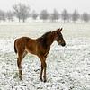 Winter foal