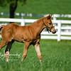 Calumet Foal
