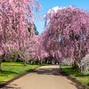 Weeping Cherry trees 2020