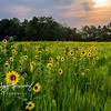 Anna's Sunflowers
