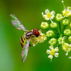 Hoverfly 4