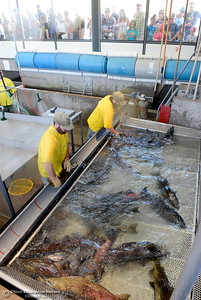 Joe Amoroso left and Adam Anton sort out the male and female fish during the Salmon Festival in Oroville, Calif. Saturday, Sept. 22, 2018.(Bill Husa -- Enterprise-Record)