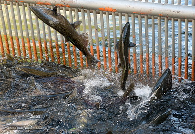 Salmon jump as they are gathered in a tank before spawning during the Salmon Festival in Oroville, Calif. Saturday, Sept. 22, 2018.(Bill Husa -- Enterprise-Record)
