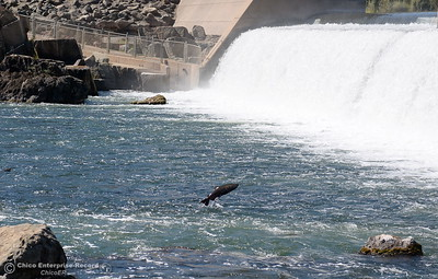 Salmon jump near the fish barrier dam near the Feather River Fish Hatchery in Oroville, Calif. Thurs. Sept. 13, 2018. (Bill Husa -- Enterprise-Record)