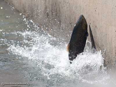 Even when they reach the top, fish want to keep climbing, even if it's just the walls of the fish ladder at the Feather River Fish Hatchery in Oroville Friday. The ladder opened up Friday, Sept. 14, 2018 signaling the start of the spawning season on the Feather River. (Bill Husa -- Enterprise-Record)