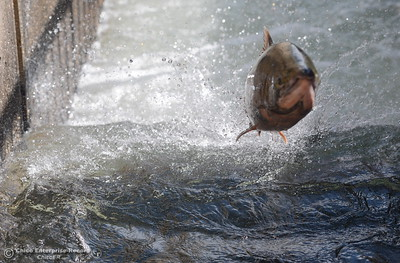 A fish jumps up the fish ladder at the Feather River Fish Hatchery in Oroville after it opened up Friday, Sept. 14, 2018 signaling the start of the spawning season on the Feather River. (Bill Husa -- Enterprise-Record)