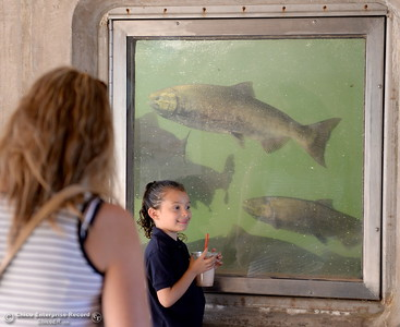 There seems to be plenty of fish in the viewing windows after the fish ladder at the Feather River Fish Hatchery in Oroville opened up Friday, Sept. 14, 2018 signaling the start of the spawning season on the Feather River. (Bill Husa -- Enterprise-Record)