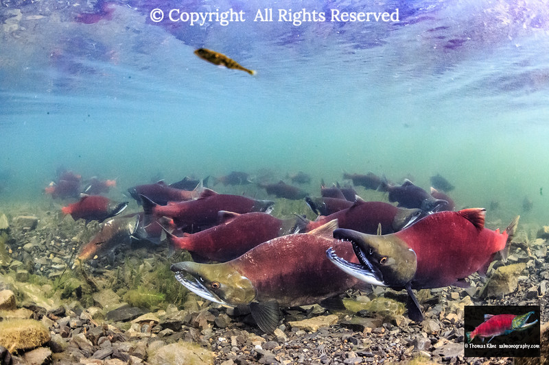 Staging Sockeye Salmon
