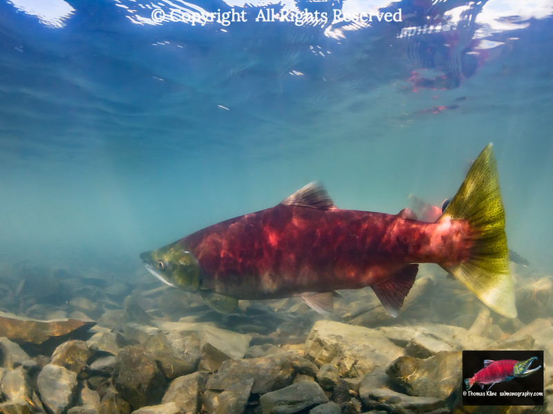 Beach spawning Sockeye Salmon