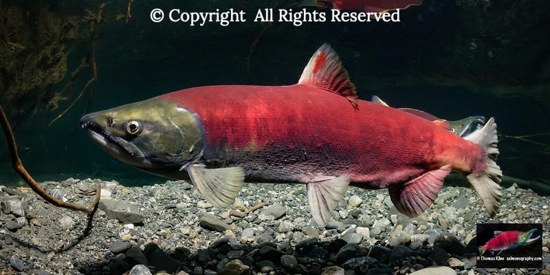 Red dorsal fin dash