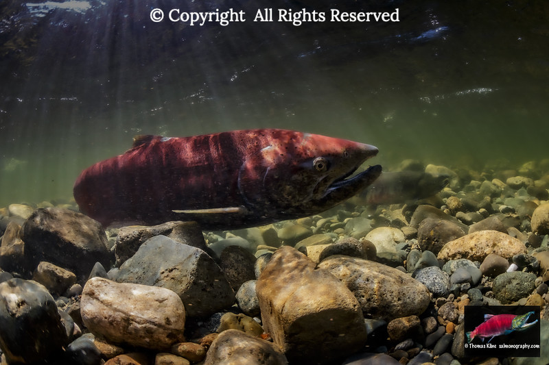 Female Chinook Salmon