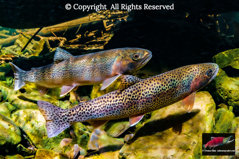 Searun Coastal Cutthroat Trout pair in a small stream