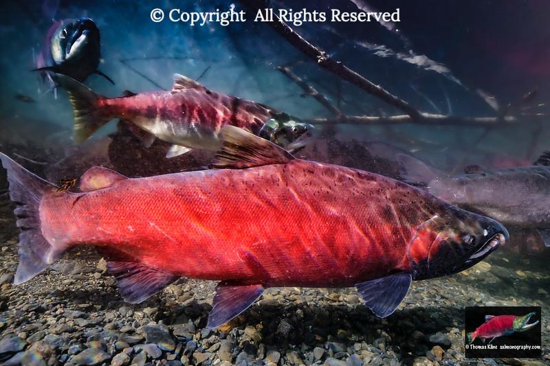 Coho Salmon male