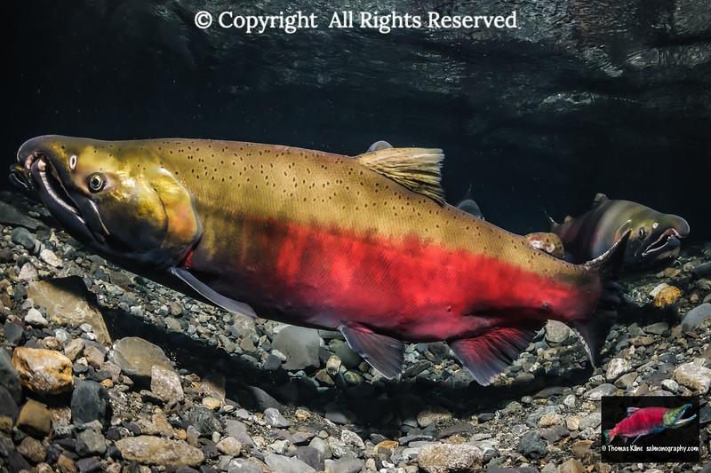 Coho Salmon male nuptial coloration