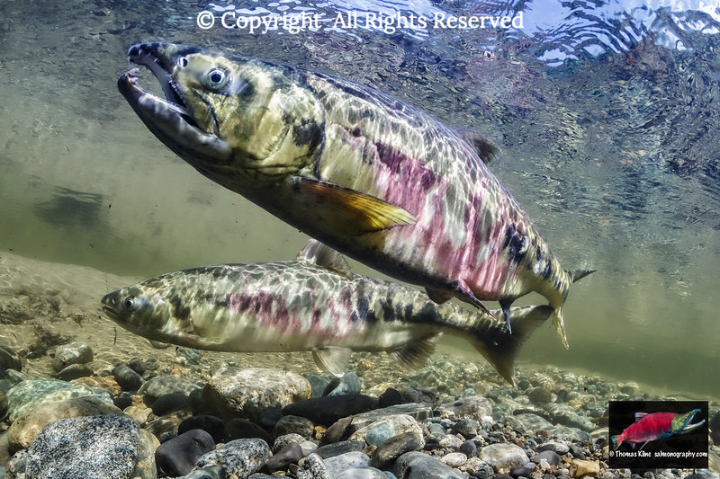 Chum Salmon spawning pair