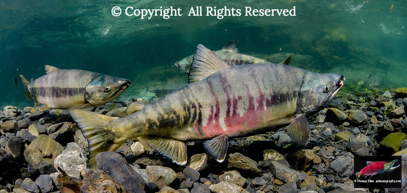 Male  Chum Salmon