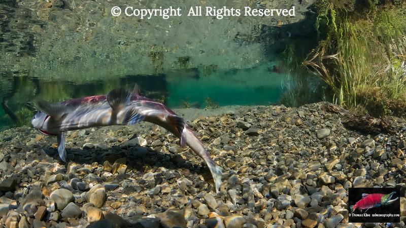 Sockeye Salmon female covering redd after spawning